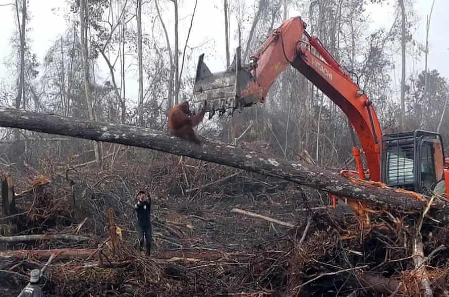 An orangutan seeks refuge from a bulldozer as loggers smash the base of a tree in the Ketapang district, West Borneo.