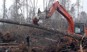 An orangutan is driven from its home by bulldozers in the Ketapang District, West Borneo