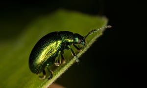 The tansy beetle, which is 'nationally rare', is the subject of a major conservation programme in Yorkshire.