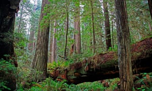 Coastal Redwood Forest in Redwood National Park California.