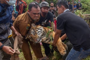 Rangers carry a captured Sumatran tiger in Lurah Ingu village, West Sumatra