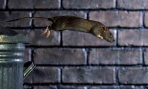 A brown rat jumping from dustbin.