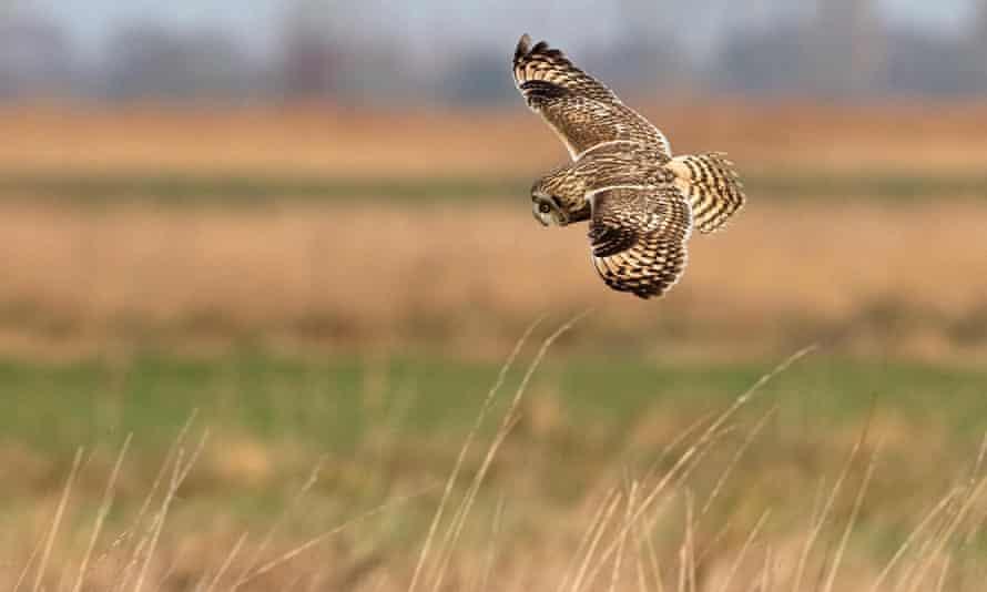 A short-eared owl (Asio flammeus) in flight.