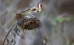 A goldfinch (Carduelis carduelis) rests on a withered sunflower in Langenenslingen, southern Germany.