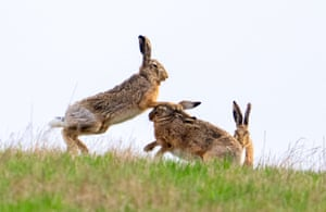 Brown hares are seen on a field near Niederleis, Austria.