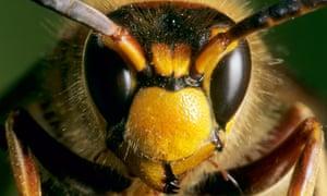 European Hornet Size