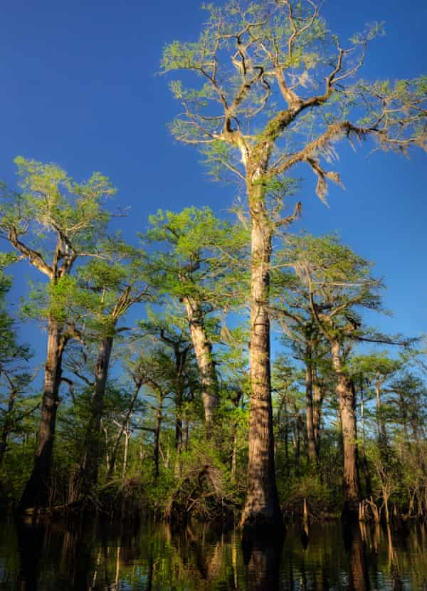These cypress trees are accessible only via a ride on small boats through a maze-like swamp.