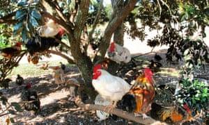 Roosters' retreat, an informal bird sanctuary on Waiheke Island, New Zealand in February 2015.