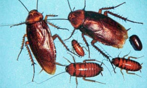 American cockroaches.