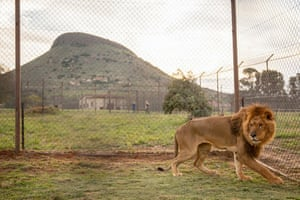 This picture released by Four Paws shows a lion discovering an enclosure as it arrives in Bethlehem, central South Africa, after an evacuation by members of the charity