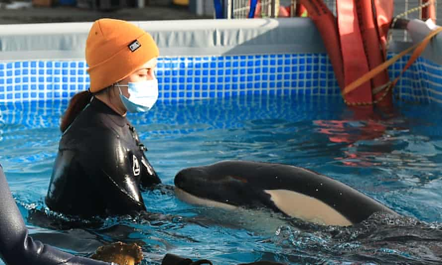 A volunteer with Toa the baby orca in his makeshift pen at Plimmerton near Wellington. Rescuers are trying to reunite Toa with his pod.