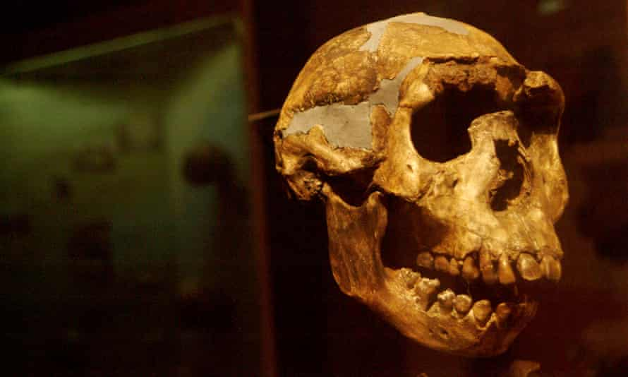 A Homo erectus skull found in Kenya.