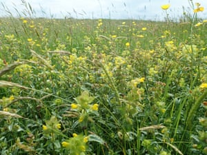 Meadow buttercups and yellow-rattle at Grindon Moor