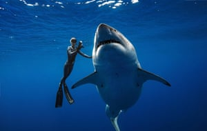 Diver Ocean Ramsey swims next to a female great white shark off the coast of Oahu, Hawaii.
