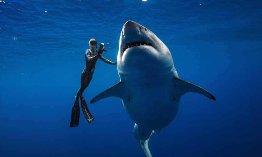 Diver Ocean Ramsey (@oceanramsey) swims next to a female great white shark off the coast of Oahu, Hawaii on January 15, 2019.