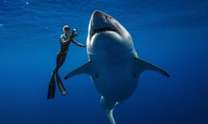 Ocean Ramsey swims next to a female great white shark off the coast of Oahu, Hawaii.