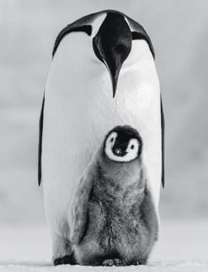 an emperor penguin chick with one of its parents