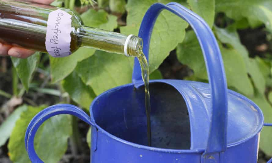 Pouring comfrey feed into watering can