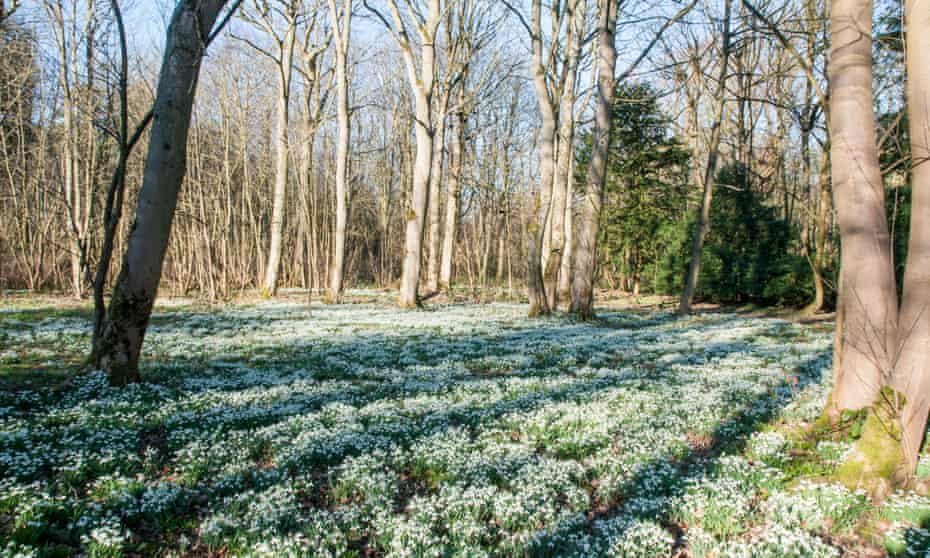 Snowdrops at Lytham Hall.