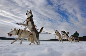 Aviemore, UK: Pete Jones and his team of dogs prepare for the 27th annual Aviemore Husky Sled Dog Rally, beside Loch Morlich in Scotland, 21 January 2010. More than 1,000 dogs will take part in the event tomorrow and on Sunday, which will be held on snow for the first time in 15 years.