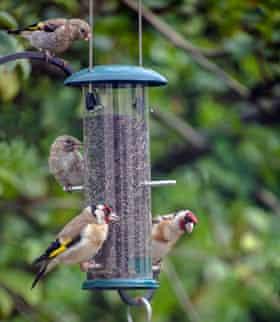 Goldfinches on a bird feeder.
