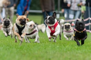 Participants in the eighth south German pug and bulldog race, Wernau, Germany