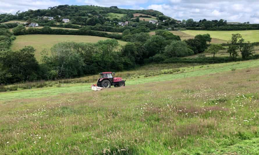Tom Sneath mowing one of the former dairy fields at Morcombelake. The white flowers are corky-fruited water dropwort (Oenanthe pimpinelloides), a species typically found in old hay meadows.