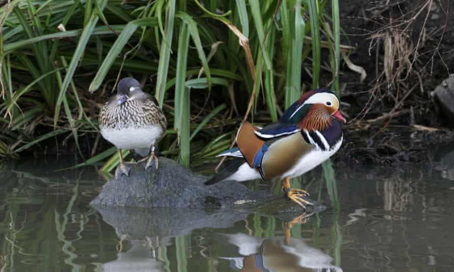Mandarin ducks at Washington Wetland Centre.