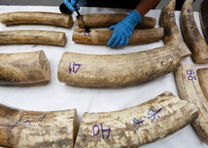 Confiscated African elephant tusks at the customs department in Bangkok, some of 43 pieces of smuggled tusks worth about $181,000 found on a flight coming from Congo to Thailand