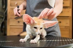 A fennec fox (Vulpes zerda) is groomed in a pet store in central Beijing