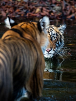 A Bengal tiger cub approaching its mother in a shallow creek, Ranthambhore national park