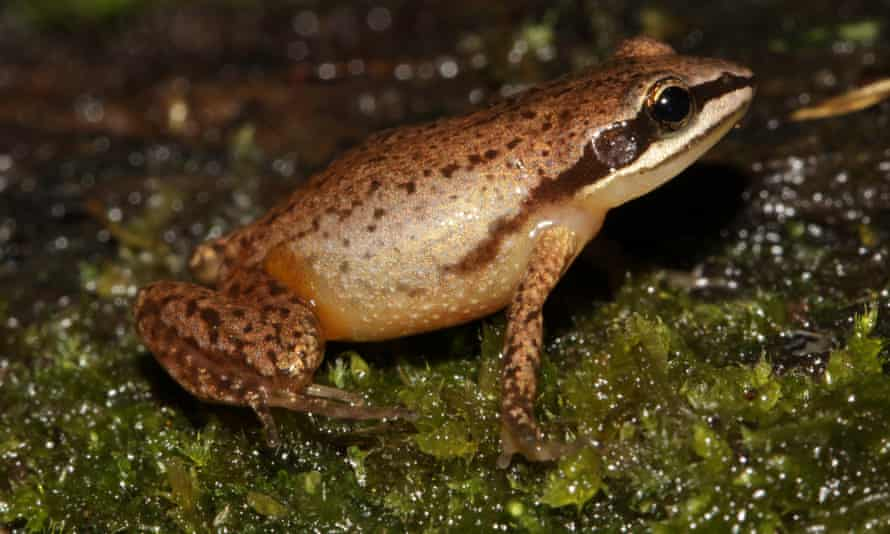 The tiny mistbelt chirping frog is only found in South Africa and is listed as endangered by the IUCN Red List.