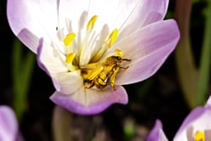 A bee collects pollen from a winter crocus in the sunshine at Mottisfont house, Hampshire, UK.