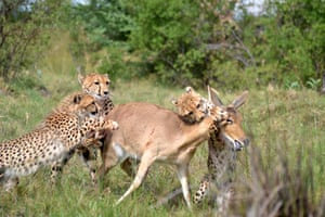 A mother cheetah holds a common reed buck from the rear to give her young cubs a chance to practice killing in Moremi Game Reserve, Botswana