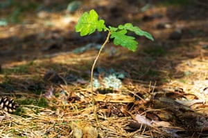 Young oak tree sapling in the wood