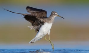 A green sandpiper, a mid-summer visitor to Somerset.
