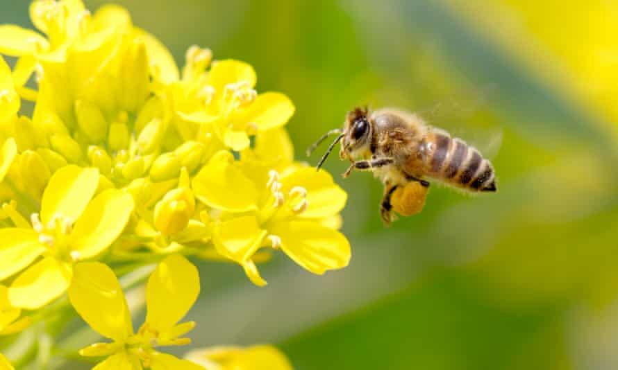 Honey bee pollinating on rapeseed
