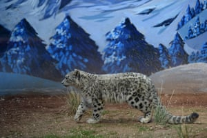 A snow leopard cub walks in the wildlife zoo in Xining, China's Qinghai province