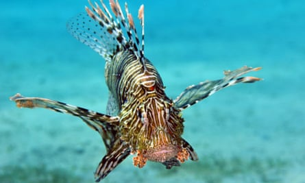 Lionfish, armed with venomous dorsal spines that enable them to deter predators, are more normally associated with warm tropical waters.