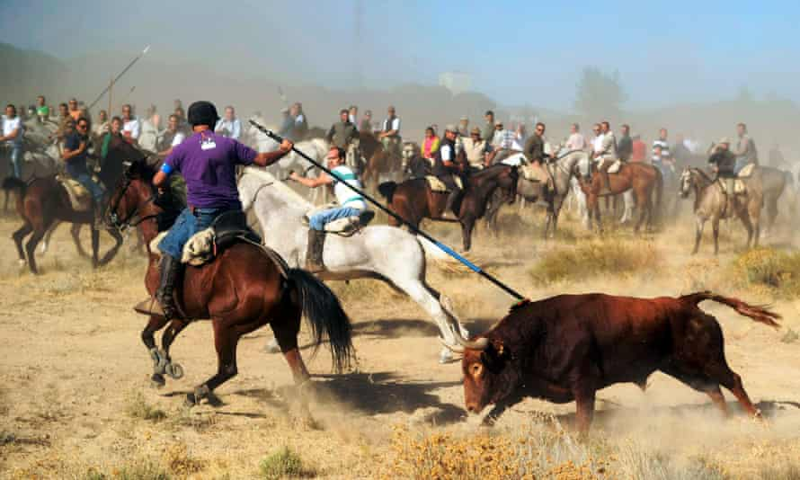 A horseman stabs a bull with a spear during the Toro de la Vega festival in Tordesillas.