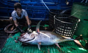 The research project will provide valuable lessons for the crews working for Luen Thai. In 2013, authorities found about 50 shark fins on a Luen Thai boat off the Marshall Islands, and fined the company $120,000. They also destroyed the offending boat. A Luen Thai executive, Derrick Wang, says the company hasn't violated any shark finning regulations since and has instituted policies to penalize any of its captain and crew for as much as $20,000 for keeping sharks and cutting the fins off for sale on the black market.