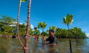 Volunteers plant mangroves in Indonesia.