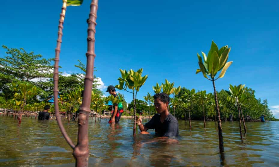 Volunteers plant mangroves in Indonesia.