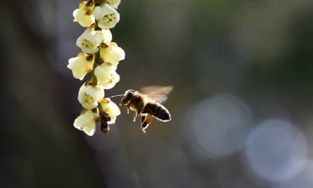 Restrictions on the use of neonicotinoids - which were deemed in 2012 to pose an 'unacceptable danger' to bees - will remain in place while the review is carried out.