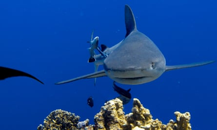 Shark approaching diver at Osprey Reef in the Coral Sea, 200 kilometres offshore from Queensland Australia