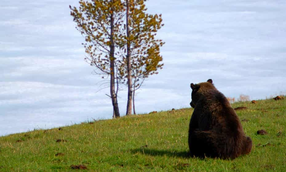 A grizzly bear sits on a ridge in Yellowstone national park. 'Their future isn't secure yet.'