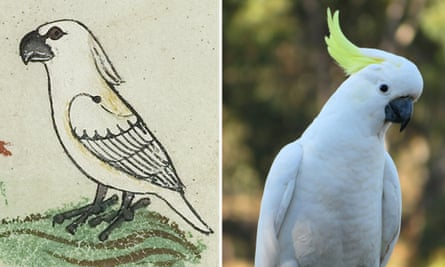 The cockatoo depicted in Holy Emperor Frederick II's 13-century guide, and a close-up of a sulphur crested cockatoo.