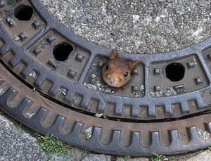 Squirrel head poking out of drain