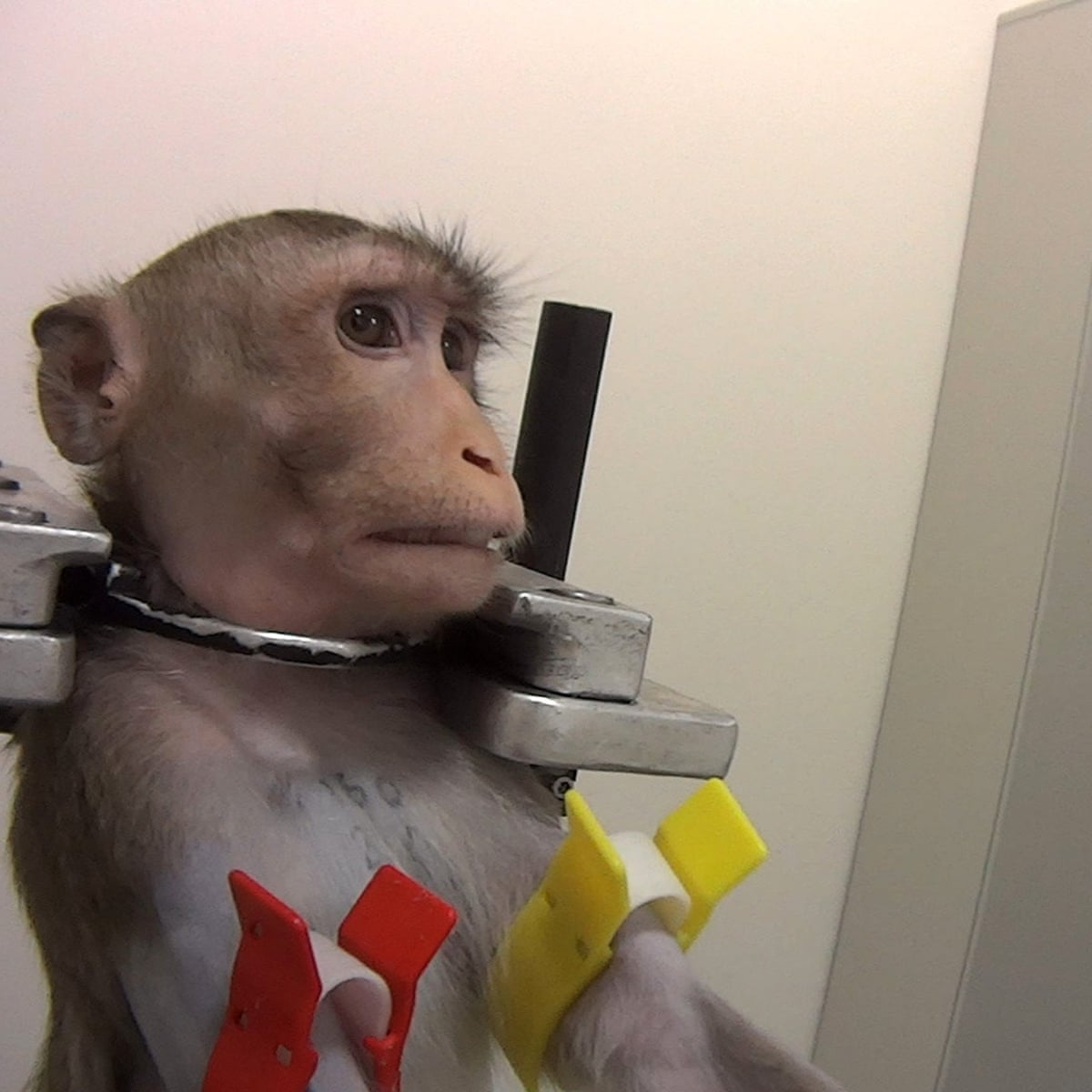 Barbaric' tests on monkeys lead to calls for closure of German lab ...