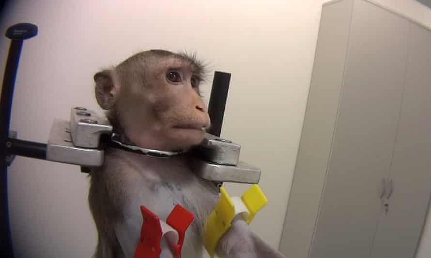 A monkey undergoing tests